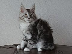 Cora-Max of Masslcats